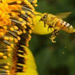 Apis y homeopatía: descubre las propiedades curativas de las abejas